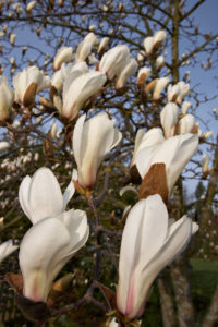 A branch with the upright blossoms of Magnolia cylindrica