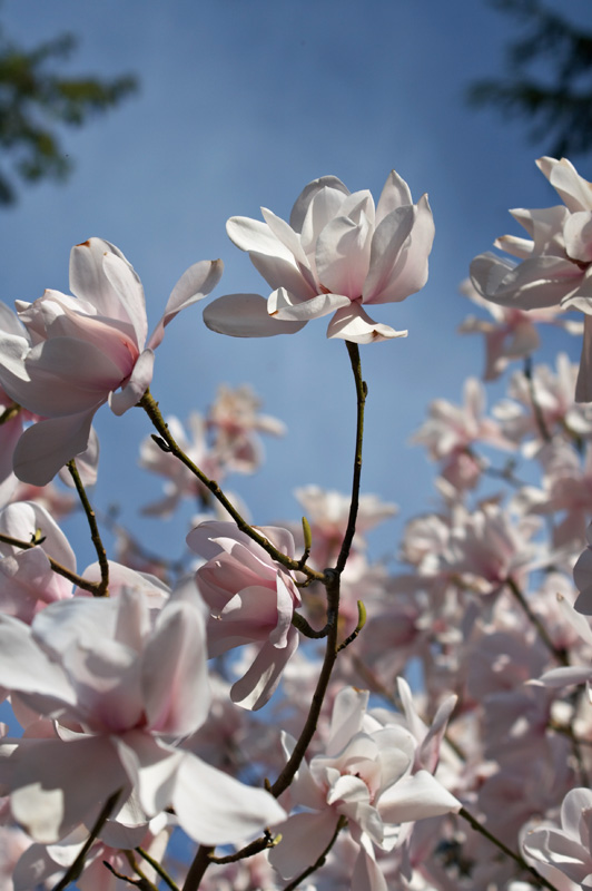 Pale pink flowers on <i>Magnolia sargentiana</i>