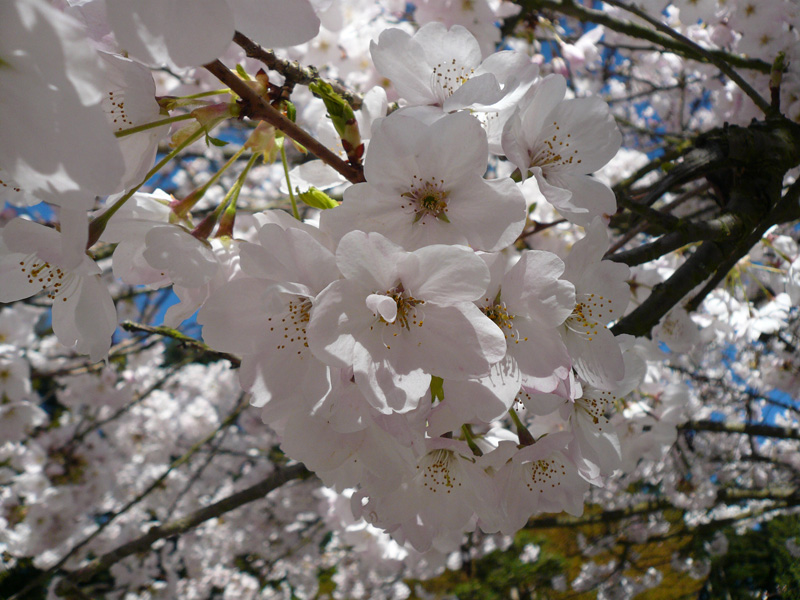 Flowers of Prunus yedoensis 'Akebono'