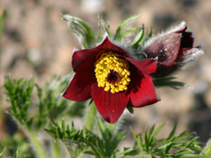 The opening flower of Pulsatilla vulgaris var. rubra