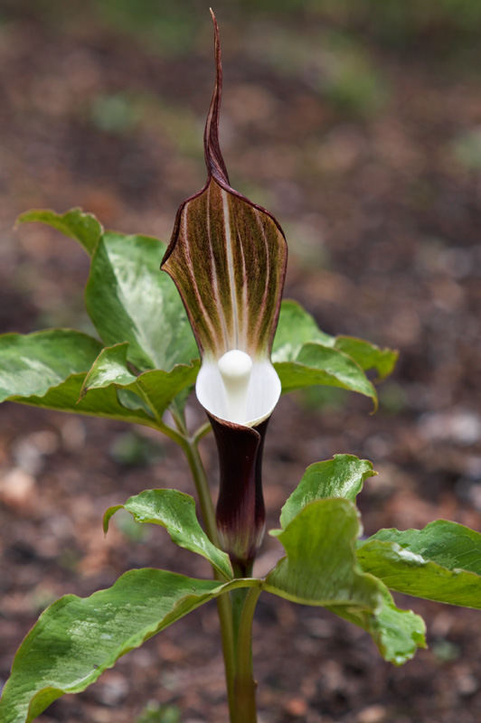 Arisaema sikokianum in bloom in UBC Botanical Garden
