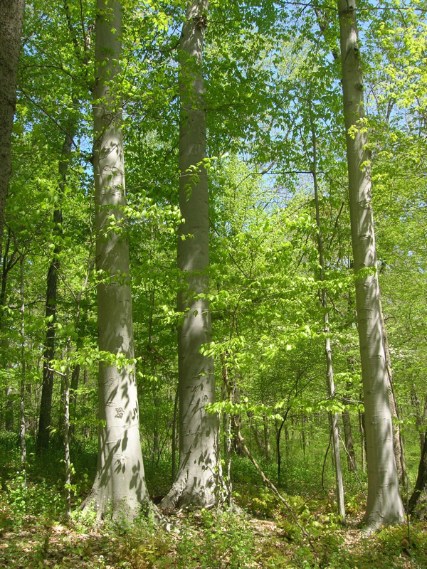 Fagus grandifolia in the forest