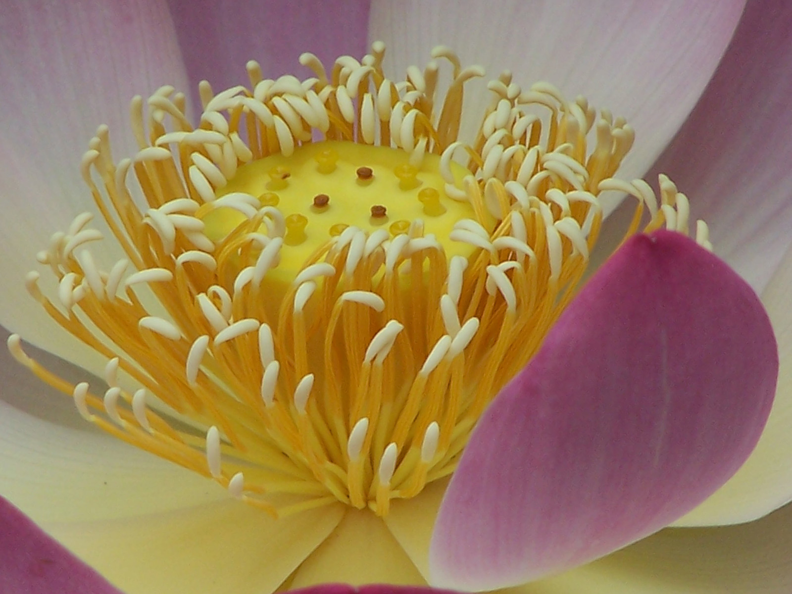 The flower of <i>Nelumbo nucifera</i>