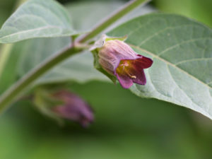 The flower of Atropa belladonna