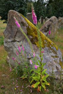 Digitalis purpurea at Stoneworld