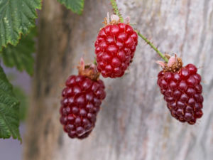 The fruits of Rubus Tayberry Group