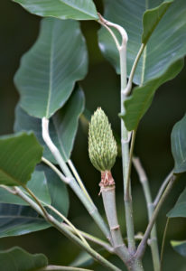 Magnolia delavayi developing fruit