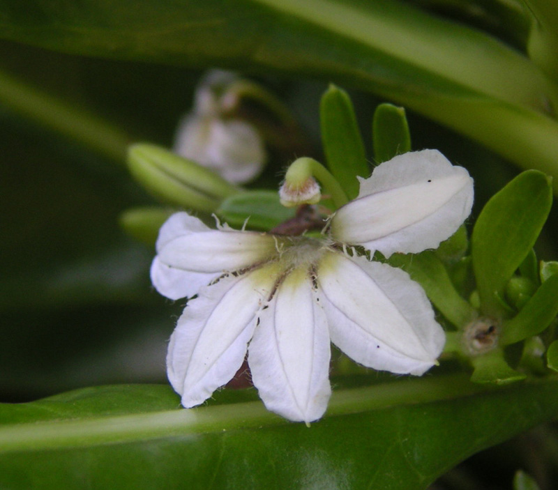 A close-up of the flower of Scaevola taccada