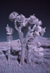 Yucca brevifolia photographed with an infrared-enabled camera
