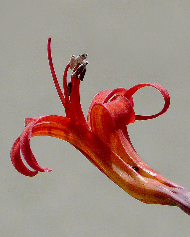 Close-up of a Brunsvigia josephinae flower