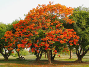 Delonix regia in bloom