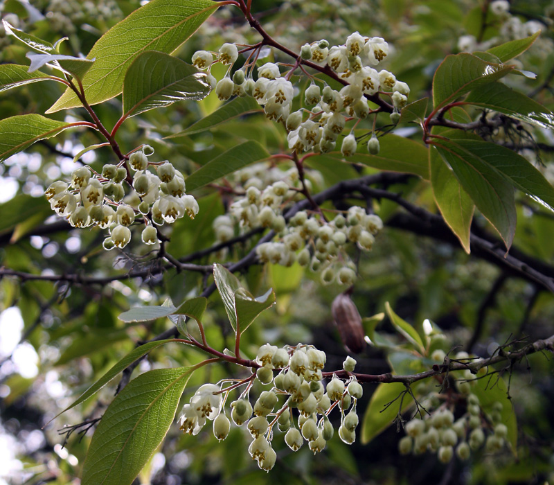 Post-rainfall flowers of <i>Rehderodendron macrocarpum</i>