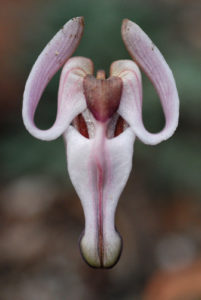 The flower of Dicentra uniflora