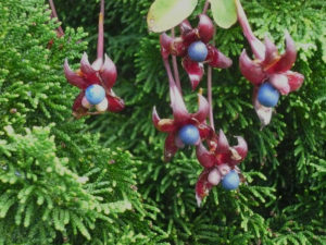 Tropaeolum speciosum in fruit