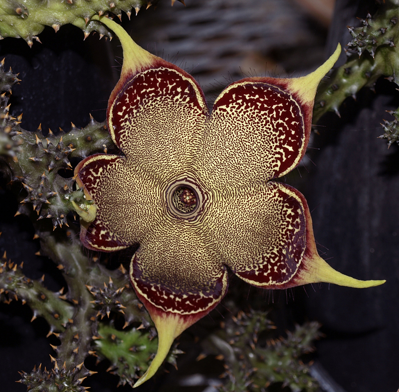 Flower of <i>Edithcolea grandis</i>