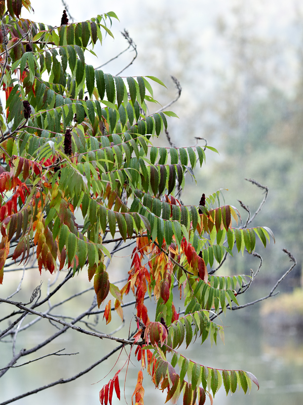 Rhus typhina stems and foliage