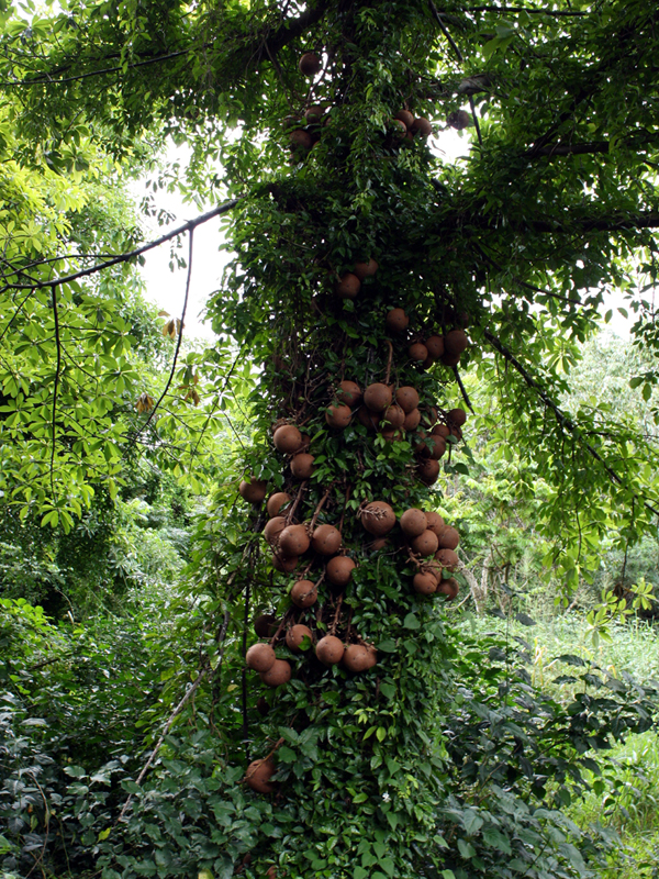 The trunk of Couroupita guianensis, laden with fruits