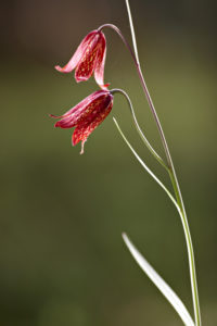 Flowers of Fritillaria gentneri
