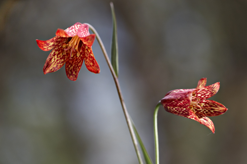 Fritillaria gentneri from a different perspective
