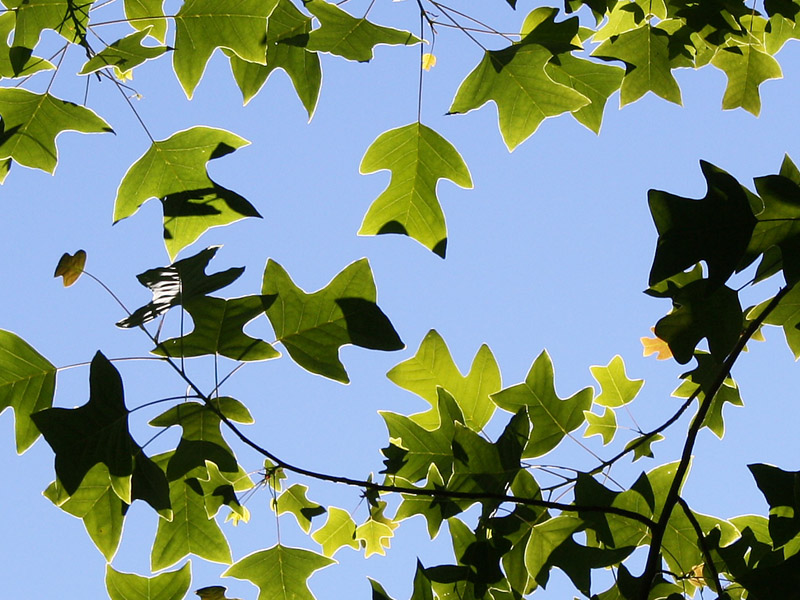 Leaves of <i>Liriodendron chinense</i>
