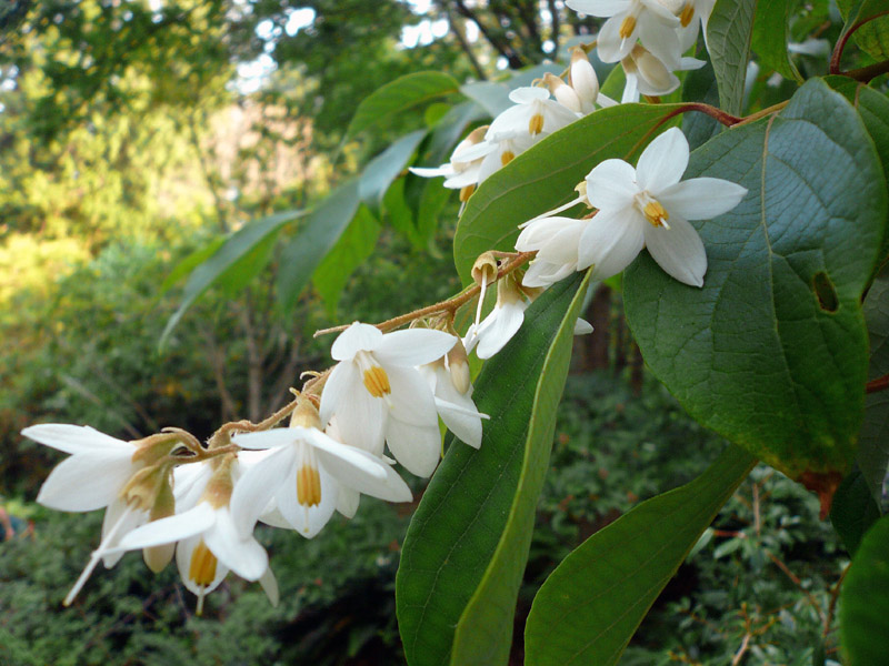 Flowers of Styrax tonkinensis