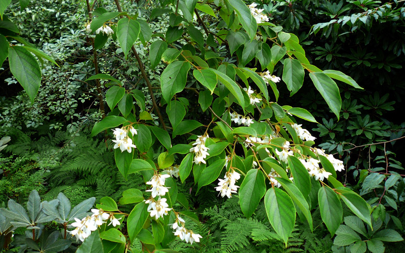 Flowers and foliage of Styrax tonkinensis