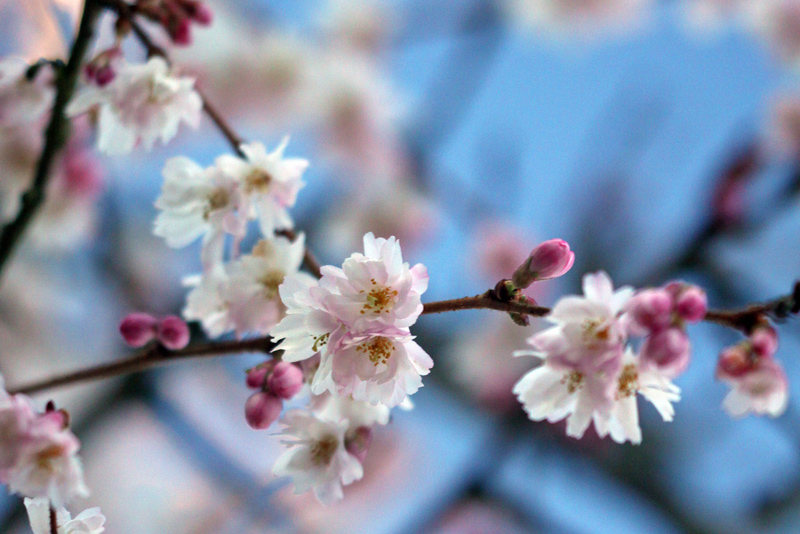 Flowers of Prunus subhirtella 'Autumnalis Rosea'