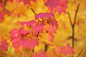 The colourful autumn foliage of Acer circinatum