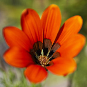 Close-up of the inflorescence of Gazania krebsiana