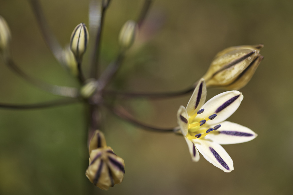 Close-up of Triteleia hendersonii