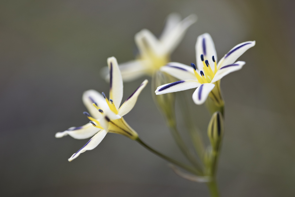 ...and another close-up of Triteleia hendersonii