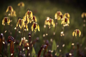 Backlit flowers of Darlingtonia californica