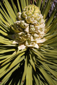 Flowers of Yucca brevifolia