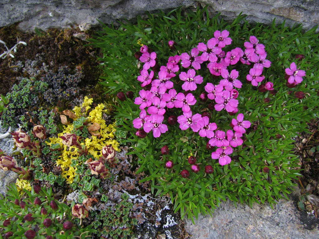 Silene acaulis growing with colourful lichens