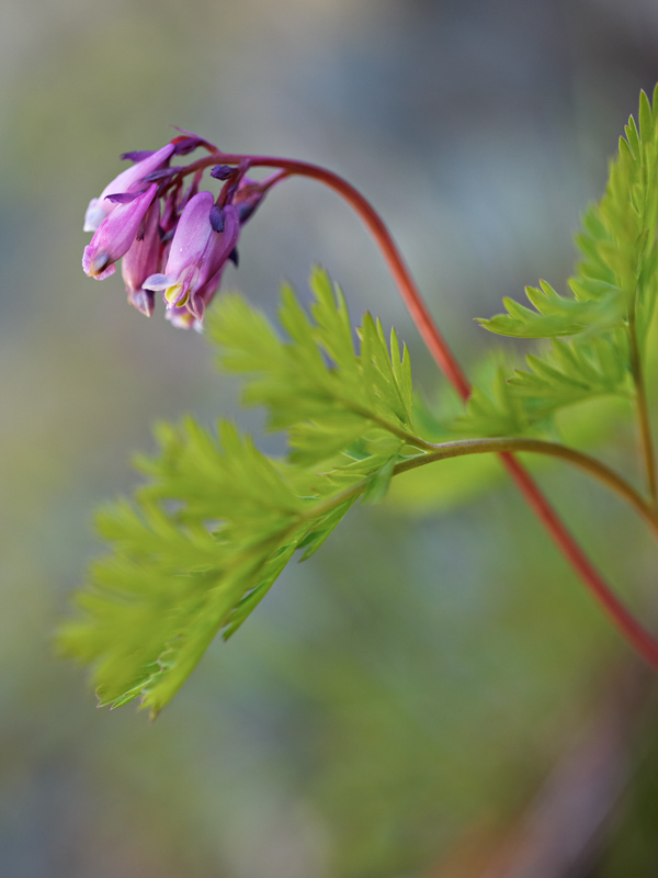 Flowers and foliage of Dicentra formosa
