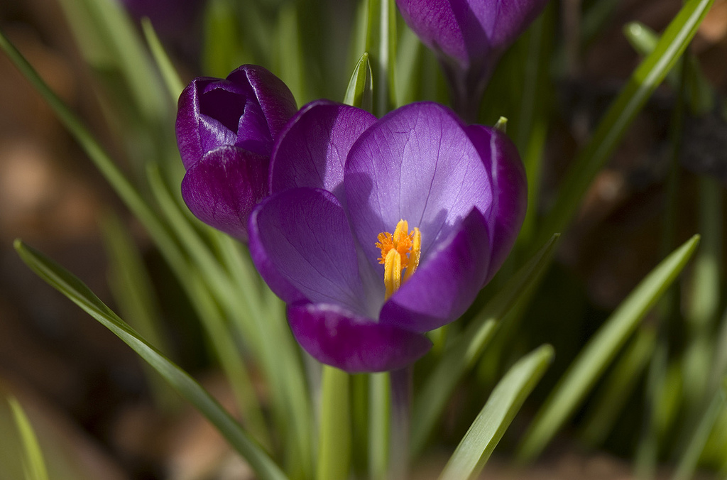 A cultivar of <i>Crocus tommasinianus</i>, likely 'Ruby Giant'