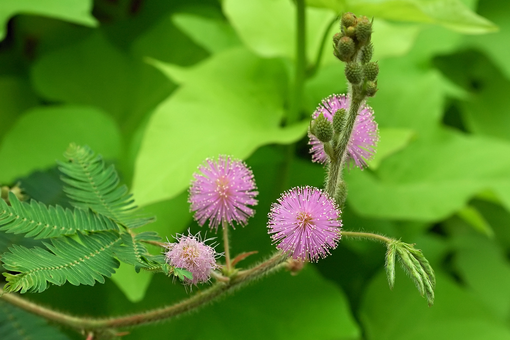 The inflorescences of <i>Mimosa pudica</i>