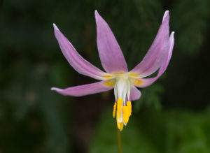A close-up of Erythronium revolutum