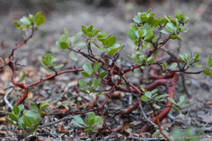 Foliage and stems of Arctostaphylos nevadensis