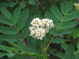 Inflorescence and leaves of Sorbus sitchensis