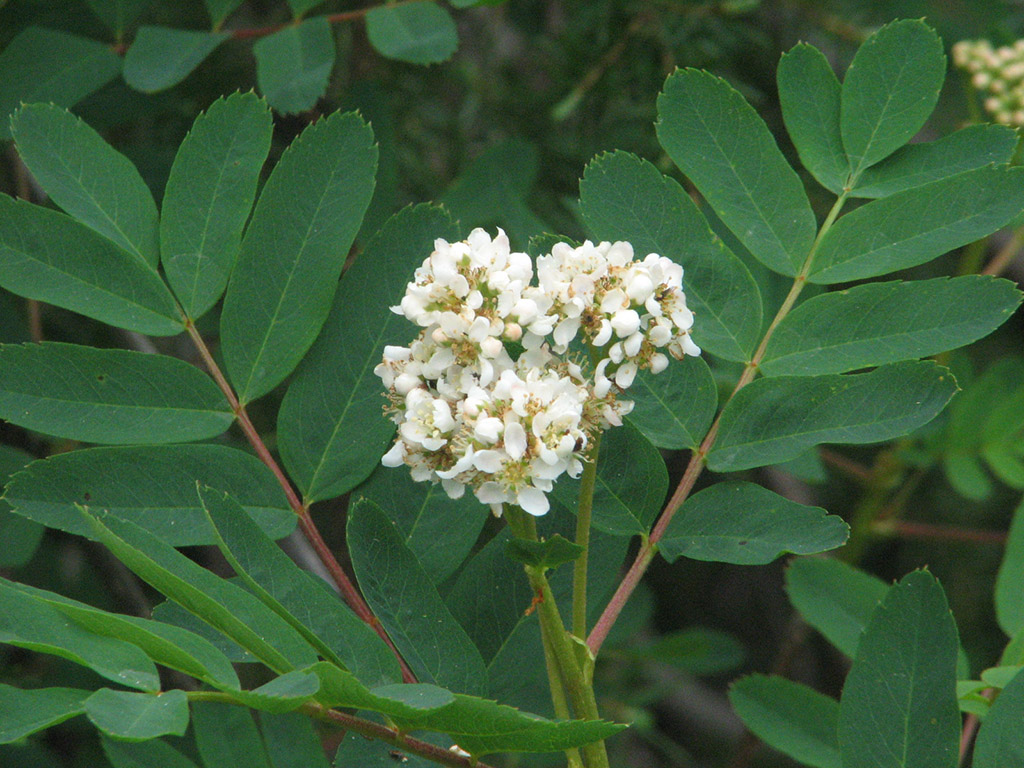 Inflorescence and leaves of <i>Sorbus sitchensis</i>