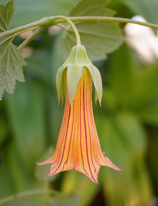 A profile of the flower of Canarina eminii