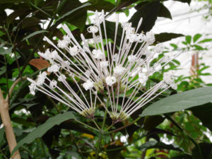 The inflorescence of Clerodendrum quadriloculare
