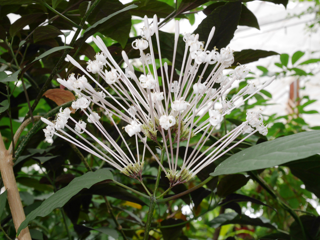 The inflorescence of <i>Clerodendrum quadriloculare</i>
