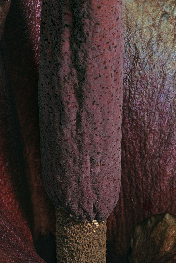 Close-up of Amorphophallus konjac inflorescence