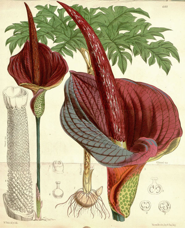 Illustration of Amorphophallus konjac