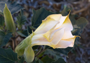 The flower of Datura wrightii