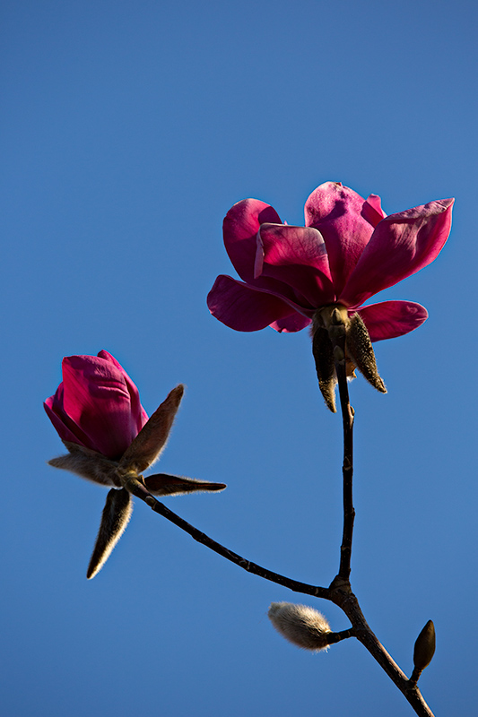 Magnolia 'Vulcan' blossoms against the sky