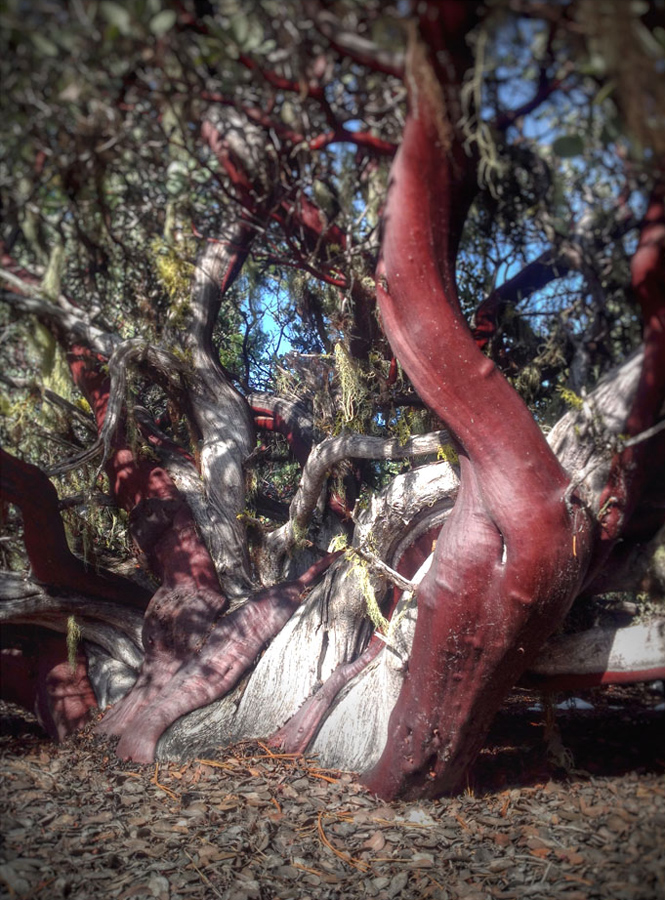 The trunk of <i>Arctostaphlyos canescens</i>