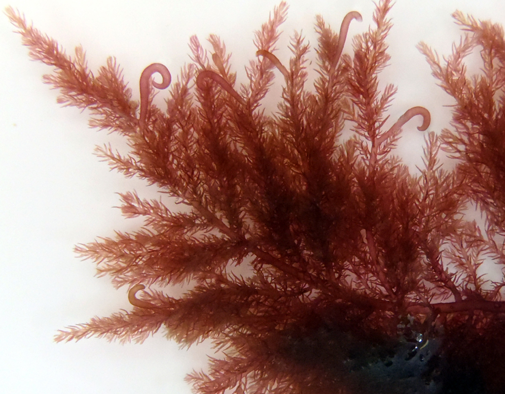 The red algae, Bonnemaisonia hamifera